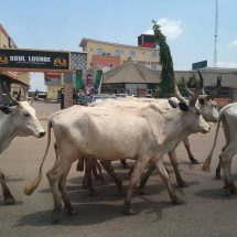 #PHOTONEWS: Cattle Rearers Defile Govt Directive, Take Over FCT
